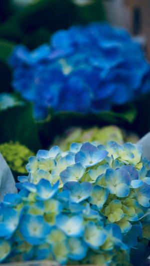 艳丽的绣球花