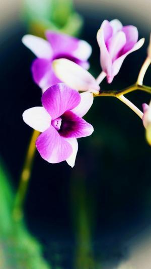 美丽又可爱的石斛花