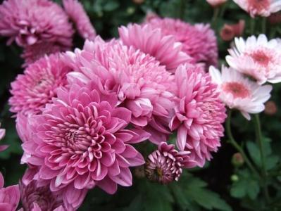 唯美意境的菊花图片