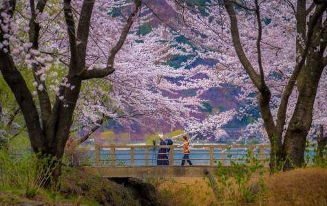 日本樱花季唯美风光