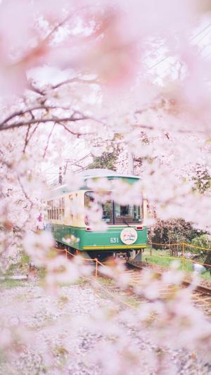 那年的樱花树