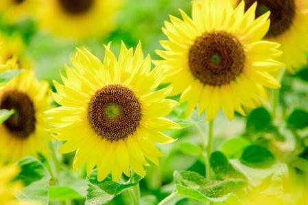 迎着阳光的向日葵