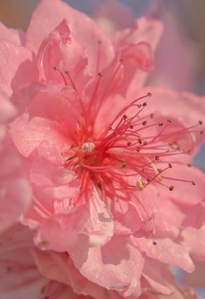 清香袅袅的桃花