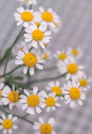 淡雅沁人的雏菊