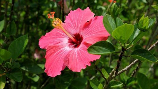 粉色和红色的芙蓉花