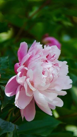 华丽而高贵的芍药花