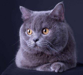 可爱萌宠英国短毛蓝猫