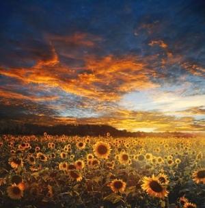 阳光意境的向日葵花图片