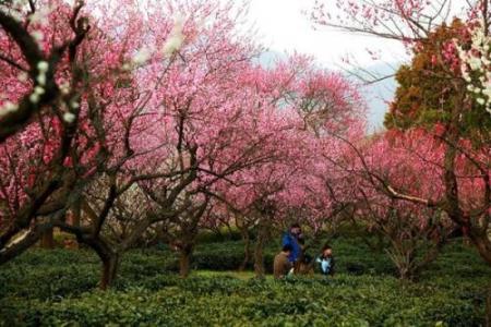 清新美丽的梅花风景图