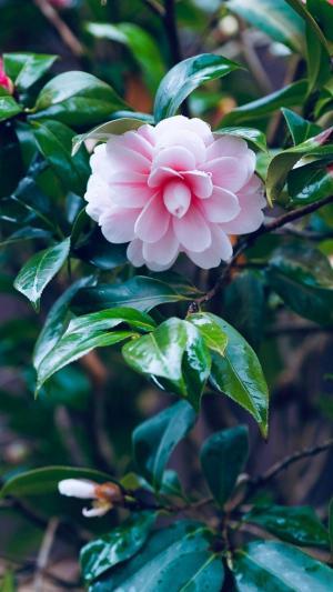 鲜艳迷人的滇山茶花
