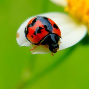 可爱的小瓢虫