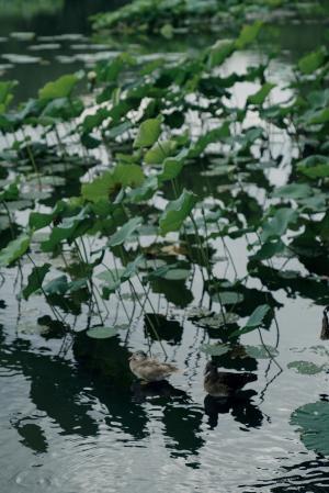 夏日荷塘唯美意境风景合集