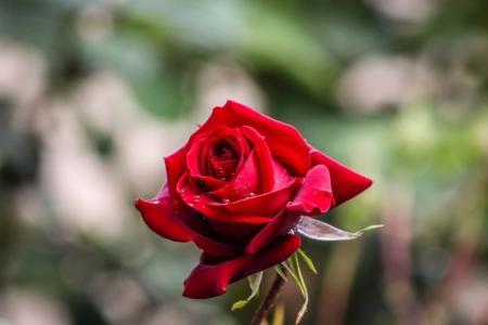 一朵鲜艳的玫瑰花