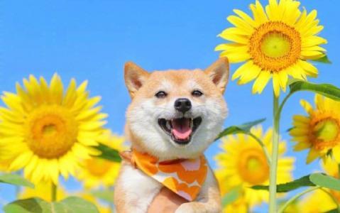 向日葵花海里的柴犬