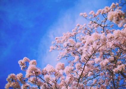 灿烂芳华的樱花