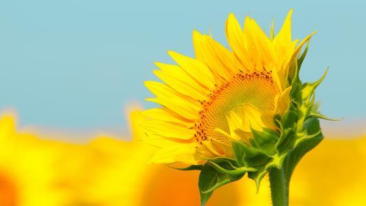 小清新向日葵摄影写真