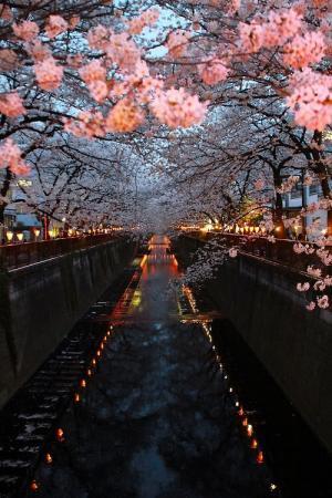 唯美浪漫樱花树的夜晚