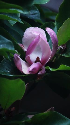 鲜艳馥郁的紫玉兰
