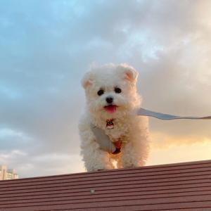超可爱软萌的马尔济斯犬