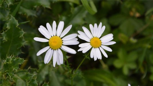 漂亮的小清新雏菊图片