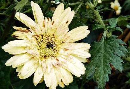 傲然挺立的菊花