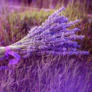 紫色唯美花海图片