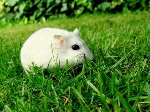 春天里的可爱小白鼠