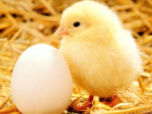 小鸡公主和蛋蛋宝贝