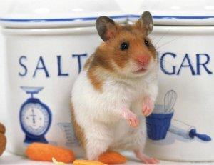 可爱的小仓鼠图片