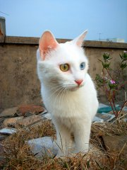 双色眼白色猫咪
