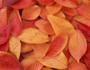 金色秋天里的枫叶
