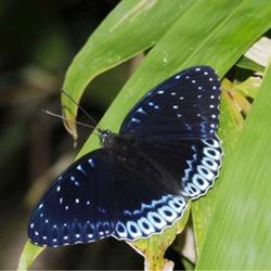 黑色精灵般的蝴蝶图片