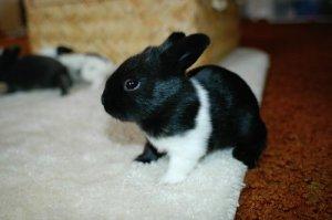 可爱的黑白小兔子