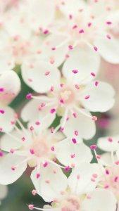 美丽的樱花手机大壁纸