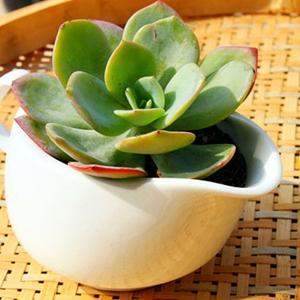 阳台多肉植物白凤图片