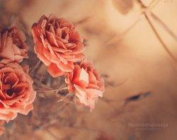 爱情玫瑰花儿意境图片