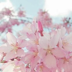 春天樱花唯美意境图片