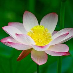清远高洁的莲花图片