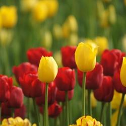 美丽的郁金香鲜花图片