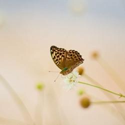 鳞翅目昆虫蝴蝶图片大全