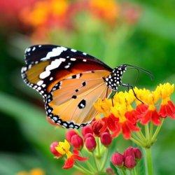 黄色美人蛱蝶姑娘图片
