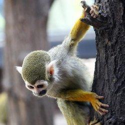 可爱哺乳动物松鼠猴图片