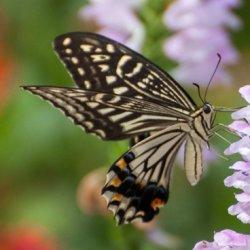 迷人的鳞翅目昆虫蝴蝶图片