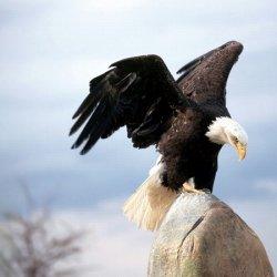 凶猛雄健的海雕展翅图片