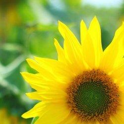 阳光下向日葵可爱花儿图片
