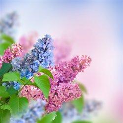 最爱丁香花唯美意境图片