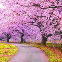 唯美浪漫的樱花意境图片