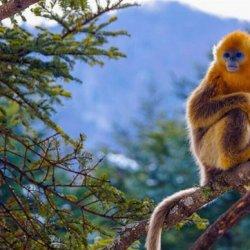 保护动物金丝猴图片