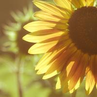 向日葵花微信头像