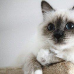 可爱的伯曼猫咪图片